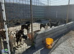 فعالیت شبانه روزی در راستای ساماندهی سگ های ولگرد